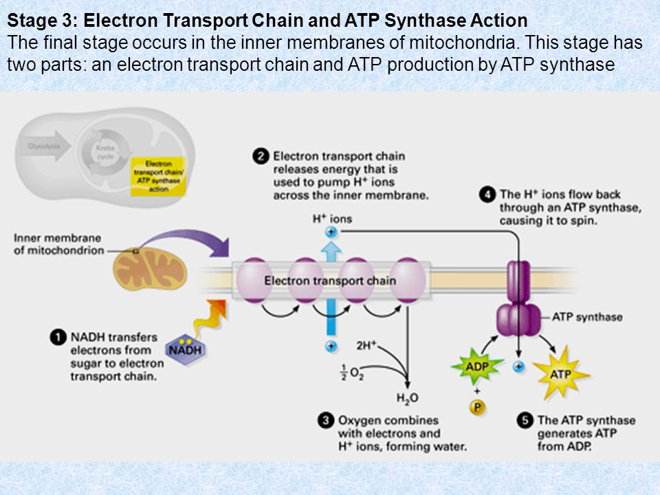 Stage 3: Electron Transport Chain and ATP Synthase Action The final stage occurs in the inner membranes of mitochondria.