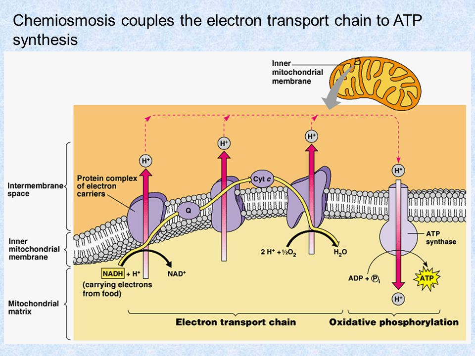 Chemiosmosis couples the electron transport chain to ATP synthesis
