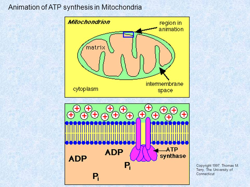 Animation of ATP synthesis in Mitochondria