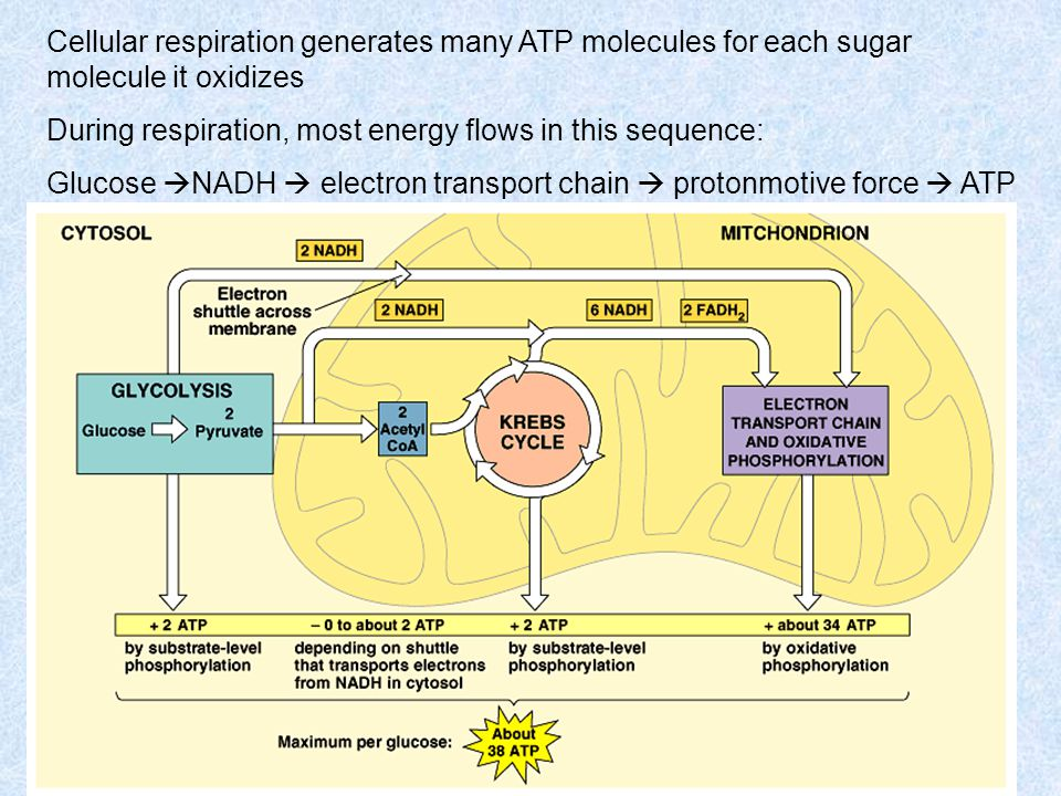Cellular respiration generates many ATP molecules for each sugar molecule it oxidizes