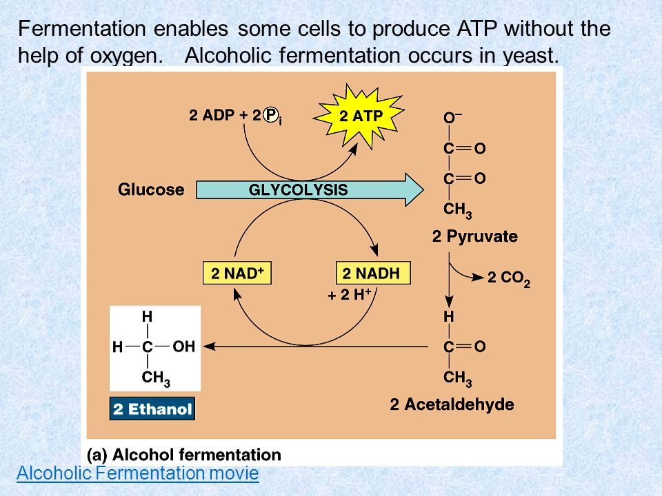 Fermentation enables some cells to produce ATP without the help of oxygen. Alcoholic fermentation occurs in yeast.