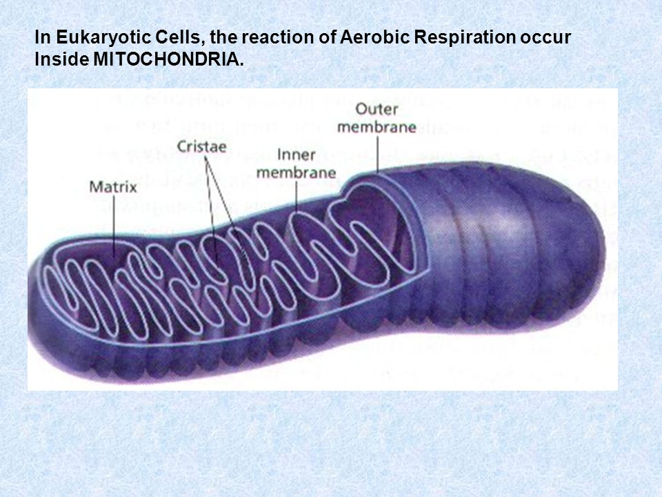 In Eukaryotic Cells, the reaction of Aerobic Respiration occur Inside MITOCHONDRIA.