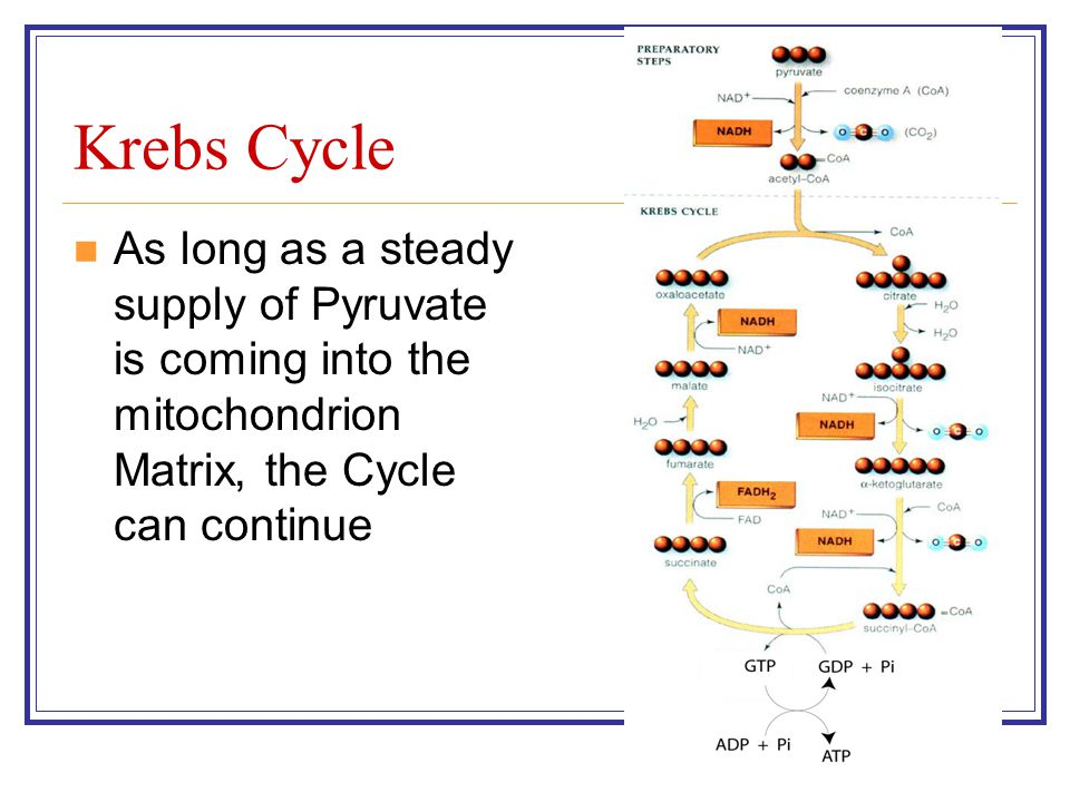 Krebs Cycle As long as a steady supply of Pyruvate is coming into the mitochondrion Matrix, the Cycle can continue.