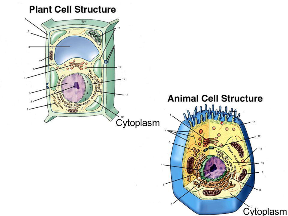 Cytoplasm Cytoplasm