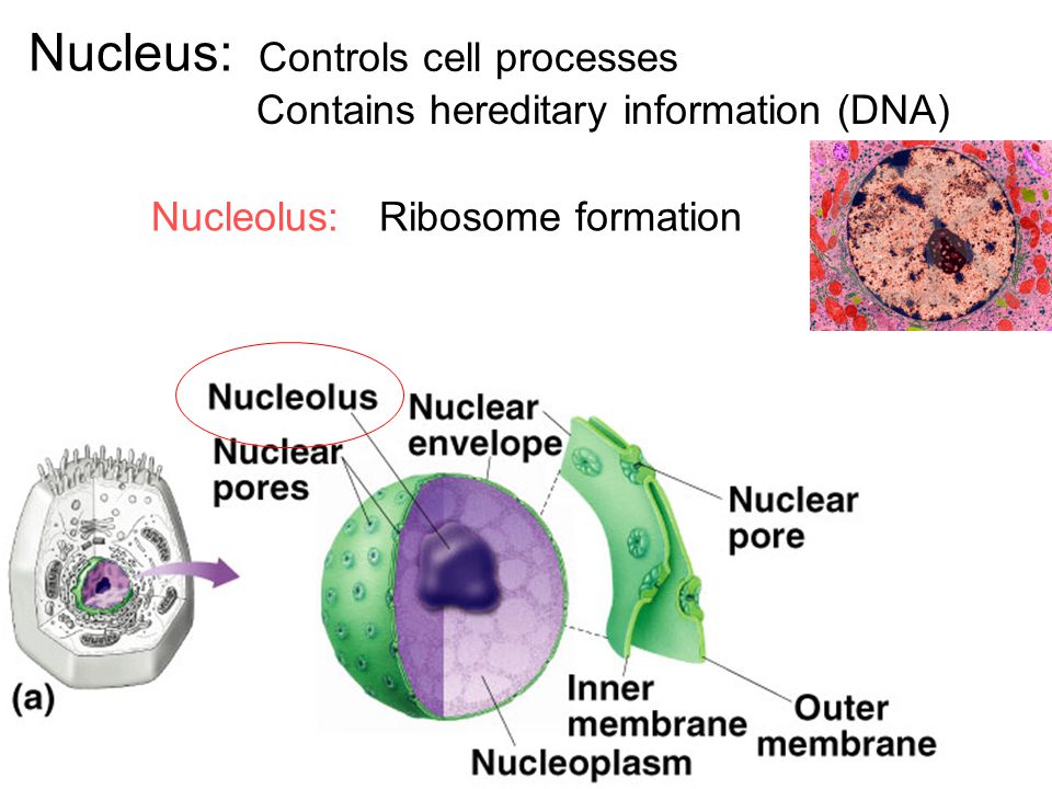 Nucleus: Controls cell processes Contains hereditary information (DNA)