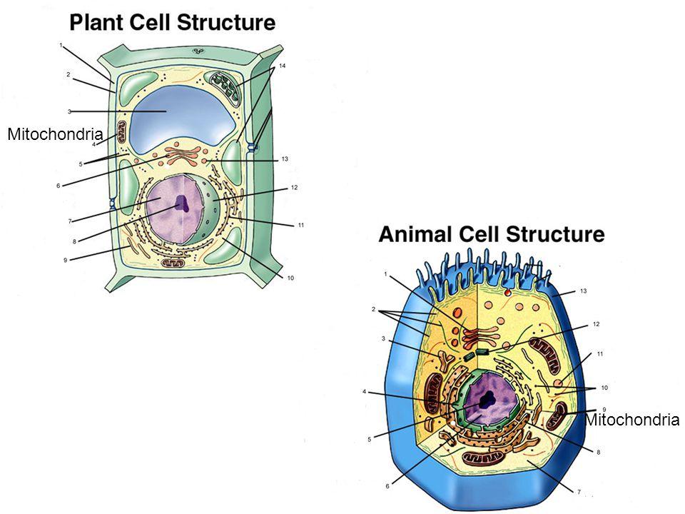 Mitochondria Mitochondria