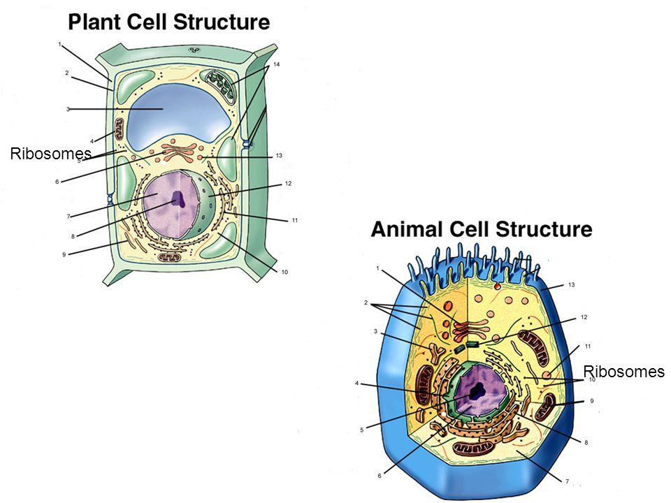 Ribosomes Ribosomes