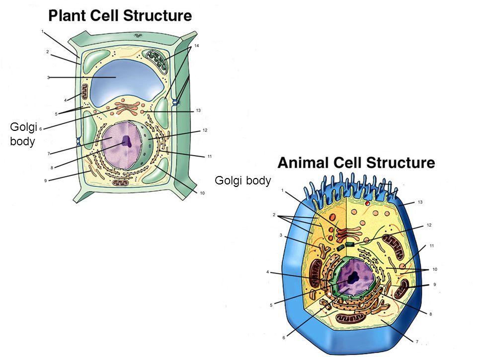 Golgi body Golgi body