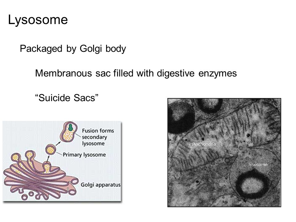 Lysosome Packaged by Golgi body