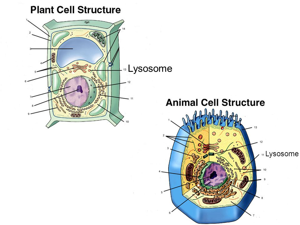 Lysosome Lysosome