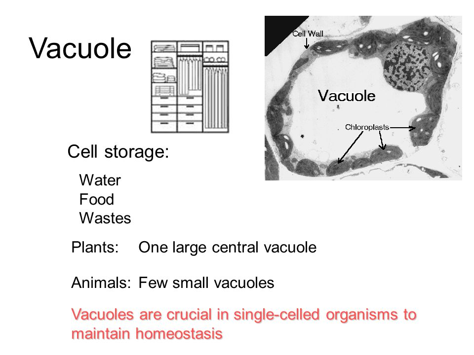 Vacuole Cell storage: Water Food Wastes Plants: