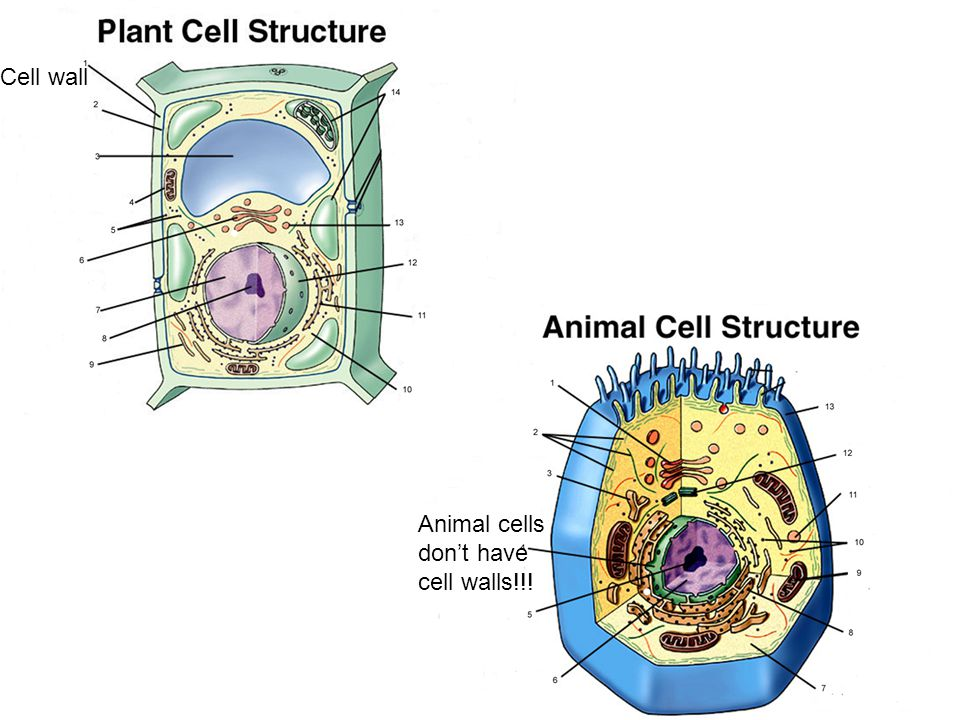 Cell wall Animal cells don't have cell walls!!!