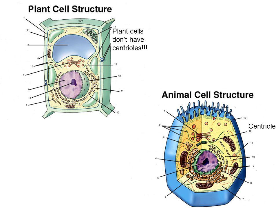 Plant cells don't have centrioles!!! Centriole