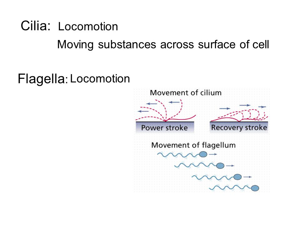 Cilia: Flagella: Locomotion Moving substances across surface of cell