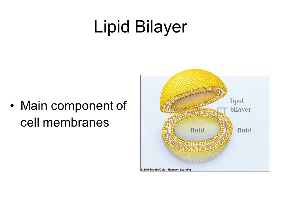 Lipid Bilayer Main component of cell membranes lipid bilayer fluid