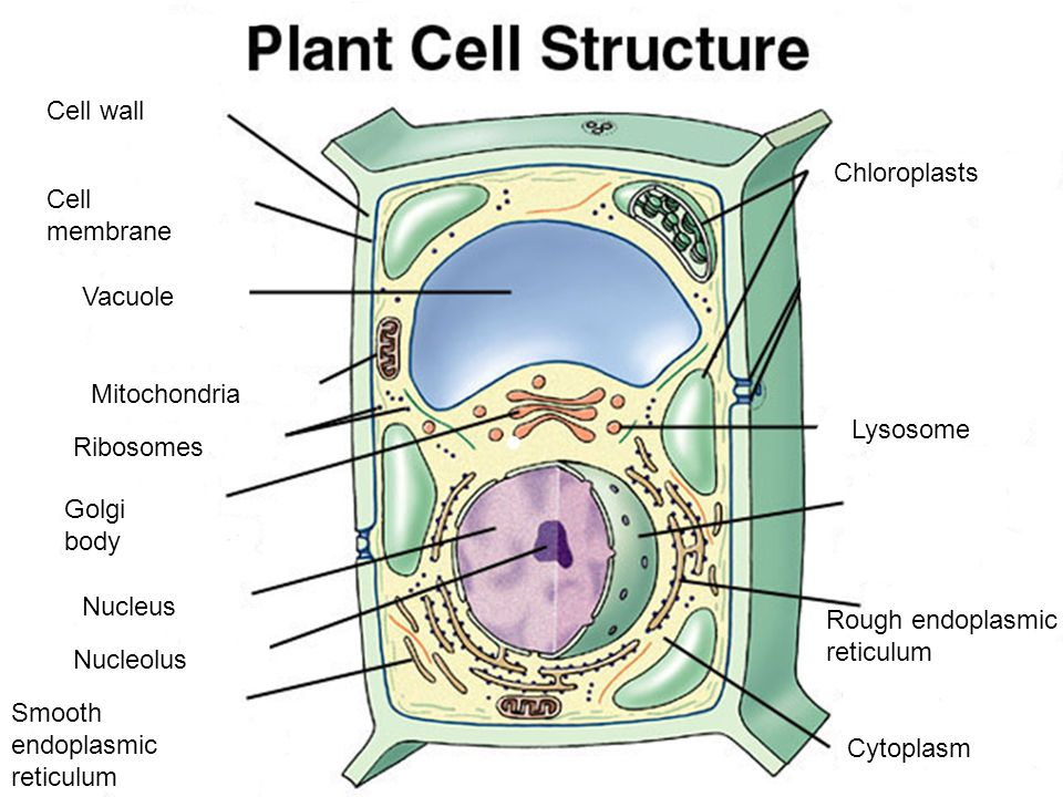 Cell wall Chloroplasts. Cell. membrane. Vacuole. Mitochondria. Lysosome. Ribosomes. Golgi. body.