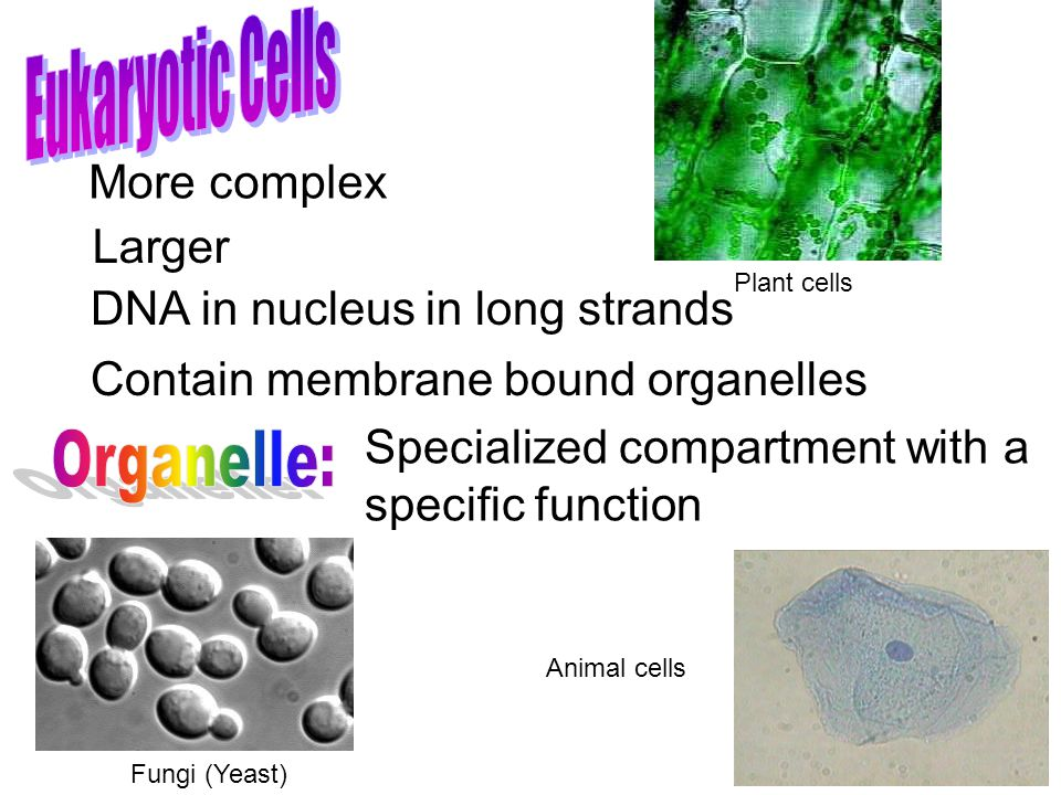 Organelle: Eukaryotic Cells More complex Larger