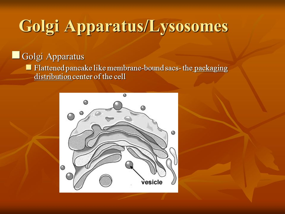 Golgi Apparatus/Lysosomes