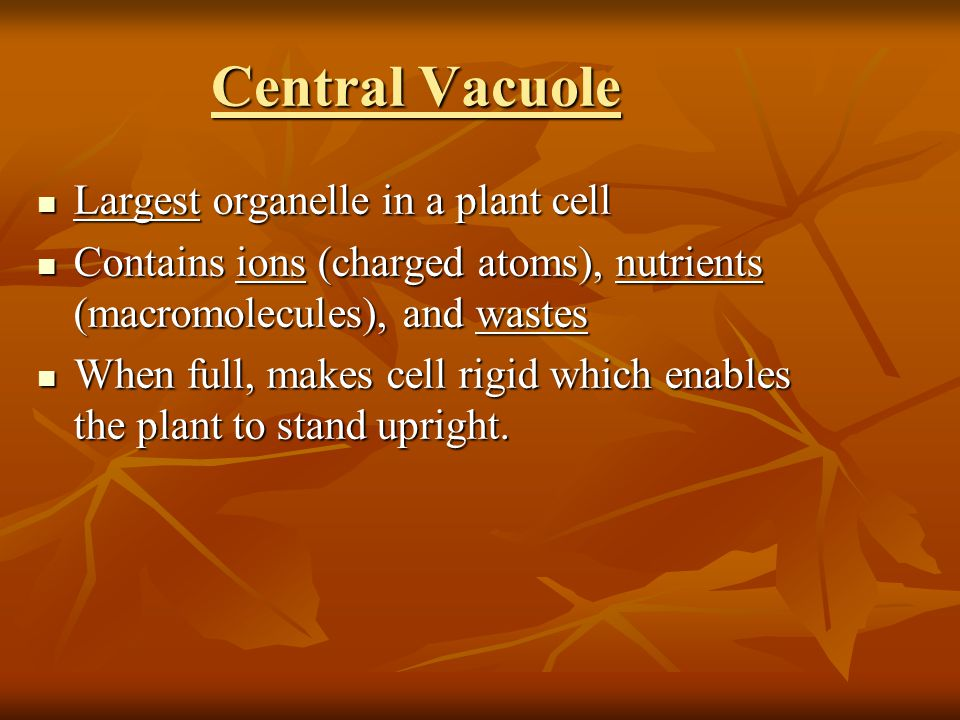 Central Vacuole Largest organelle in a plant cell