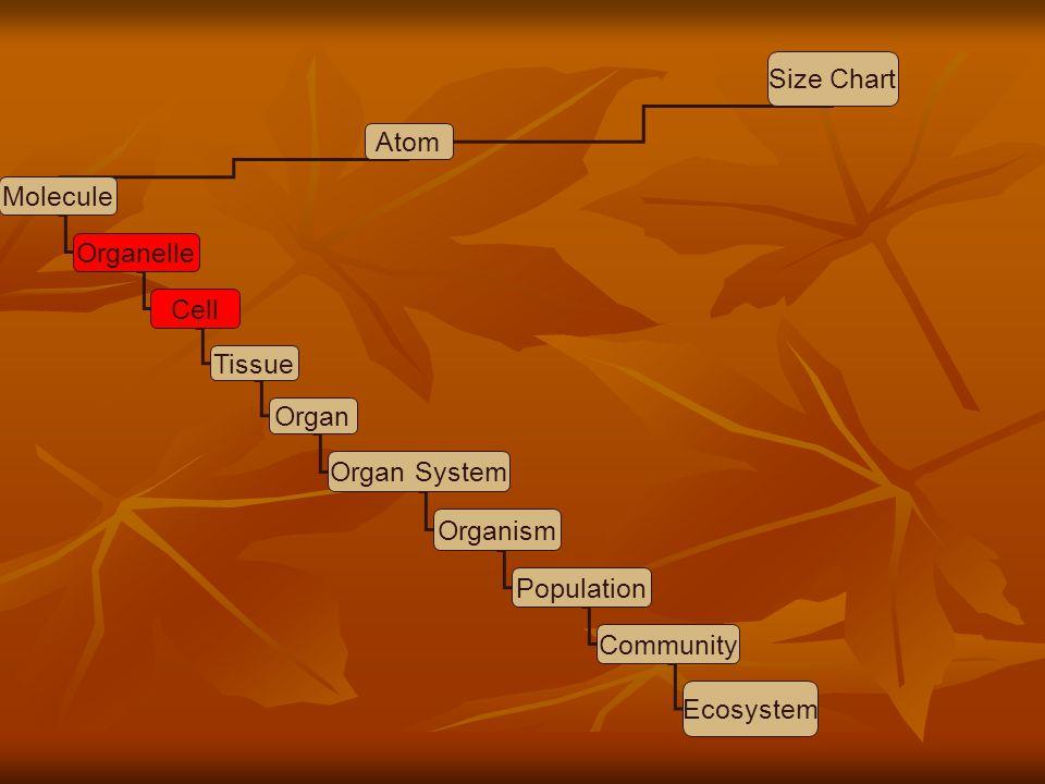 Size Chart Atom. Molecule. Organelle. Cell. Tissue. Organ. Organ System. Organism. Population.