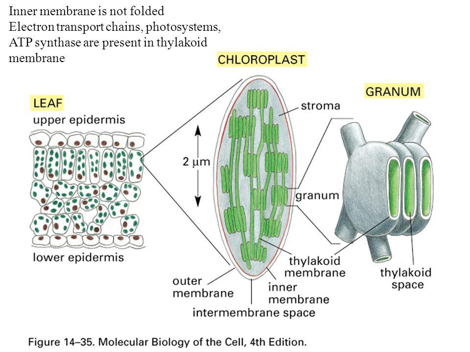 Inner membrane is not folded