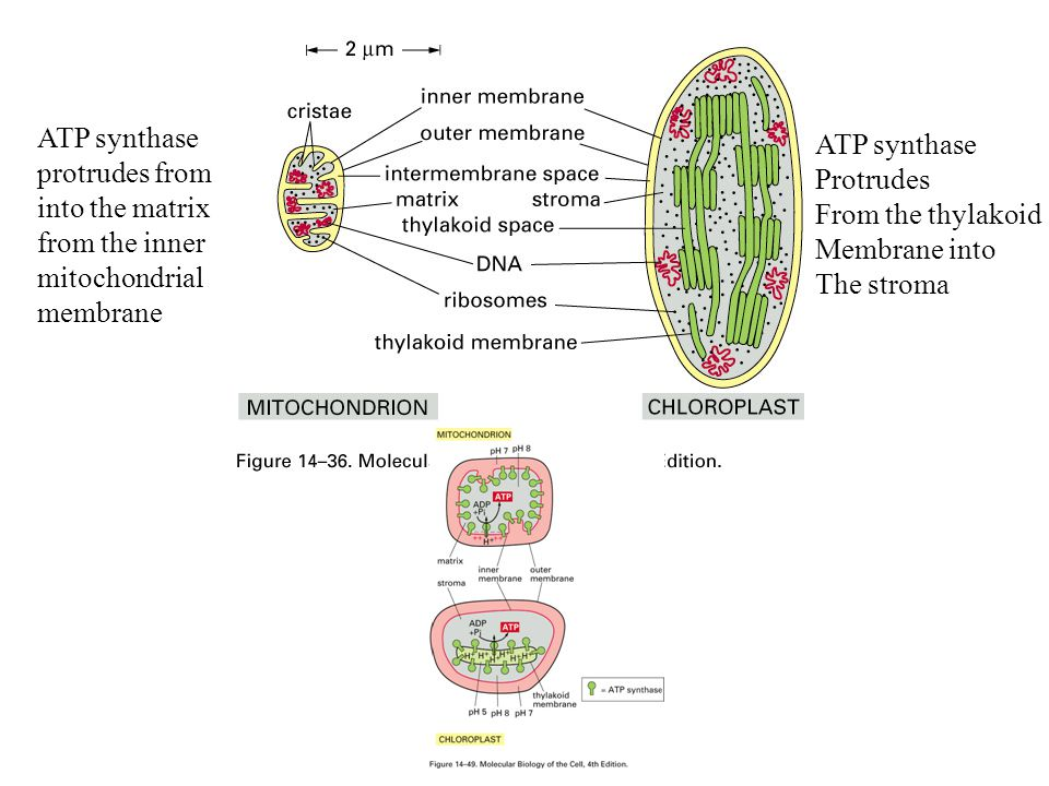 ATP synthase protrudes from. into the matrix. from the inner. mitochondrial. membrane. ATP synthase.