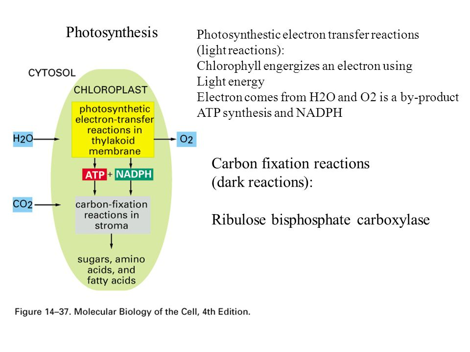Carbon fixation reactions (dark reactions):