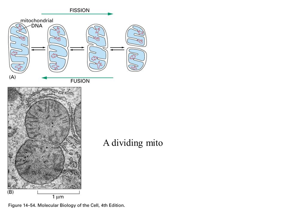 A dividing mito
