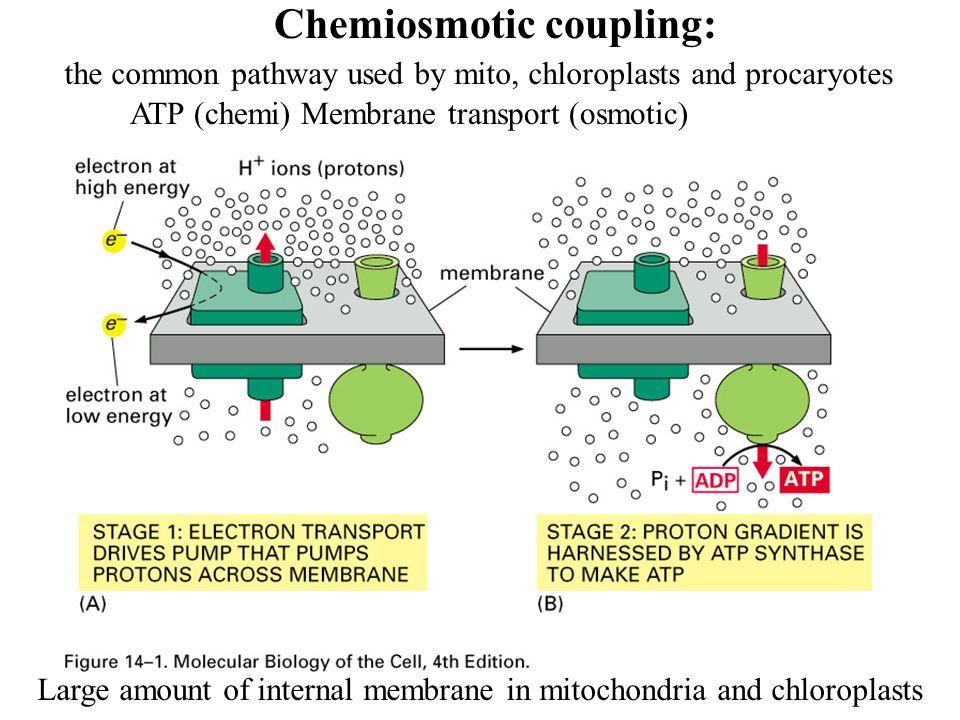 Chemiosmotic coupling: