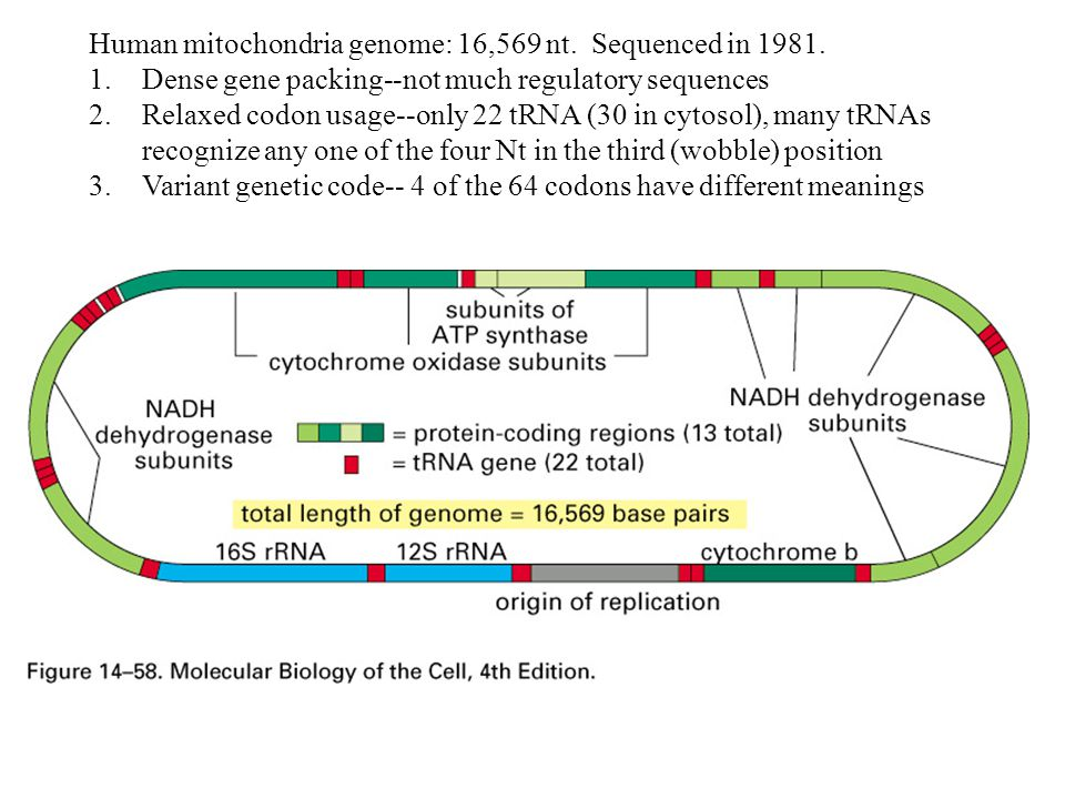 Human mitochondria genome: 16,569 nt. Sequenced in 1981.