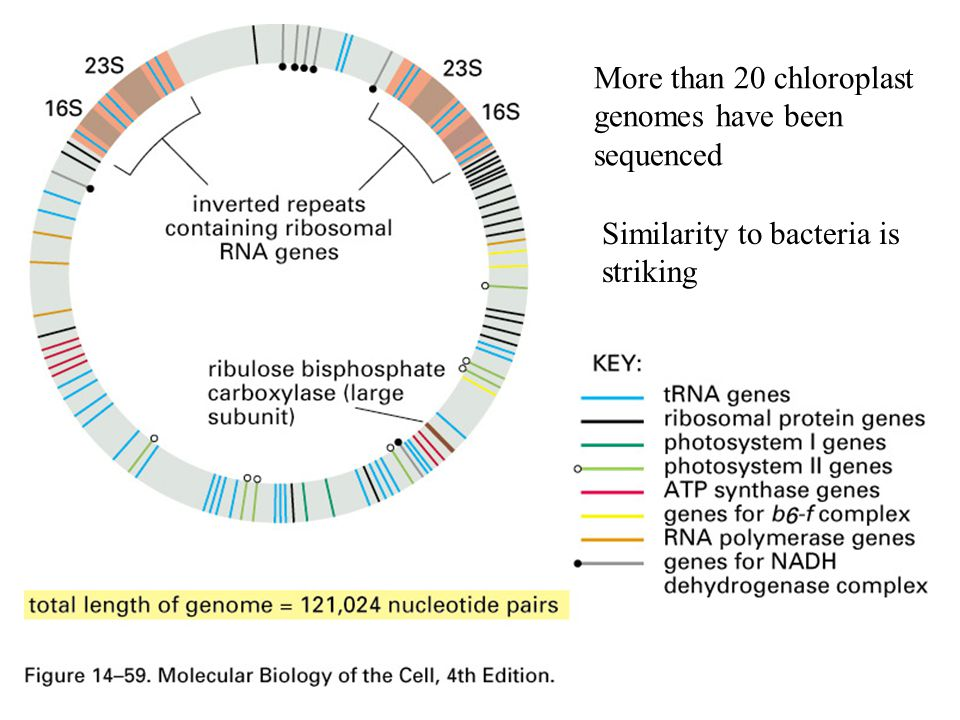 More than 20 chloroplast genomes have been sequenced Similarity to bacteria is striking