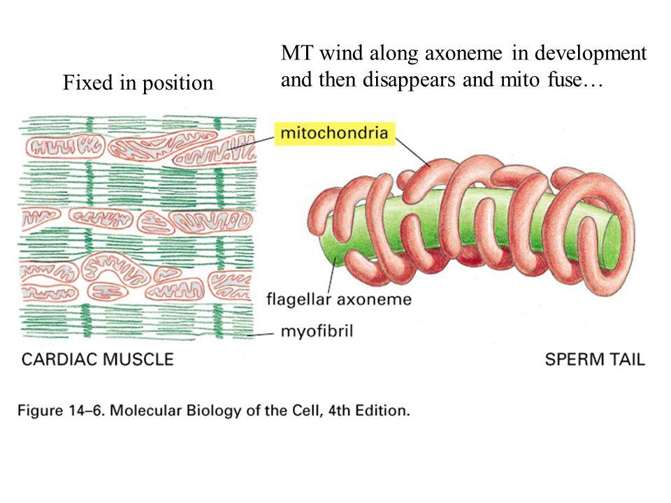 MT wind along axoneme in development