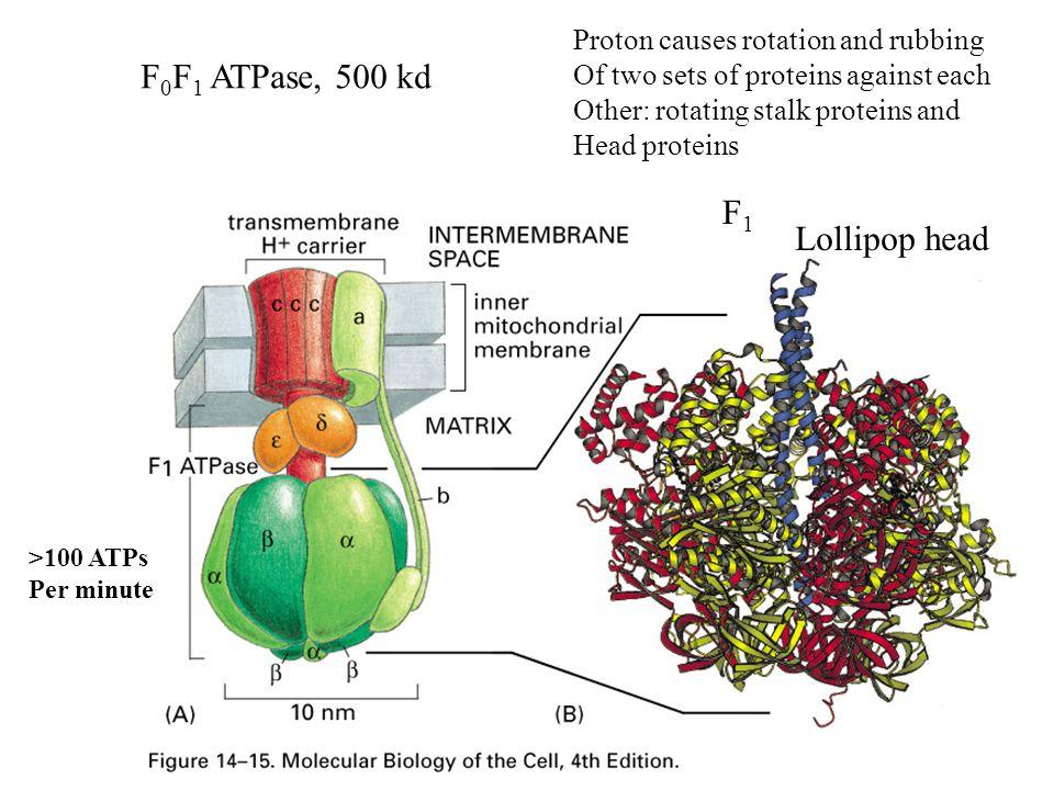 F0F1 ATPase, 500 kd F1 Lollipop head