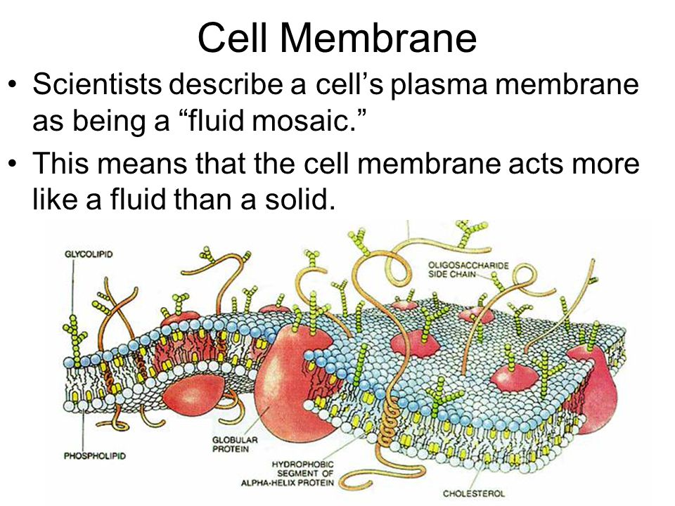 Cell Membrane Scientists describe a cell's plasma membrane as being a fluid mosaic.