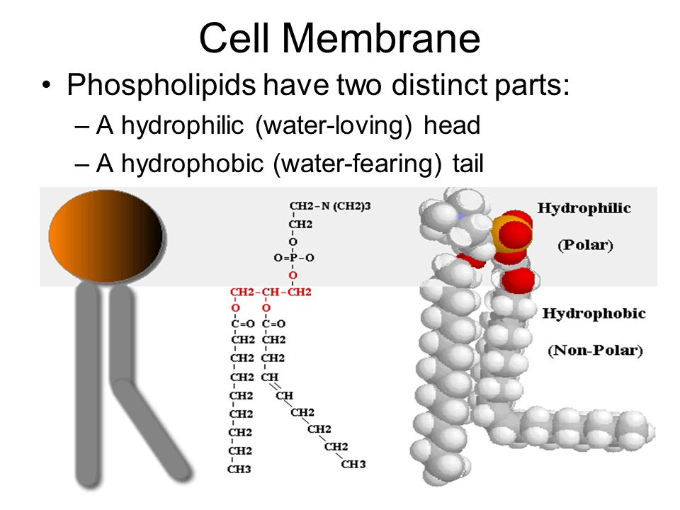 Cell Membrane Phospholipids have two distinct parts: