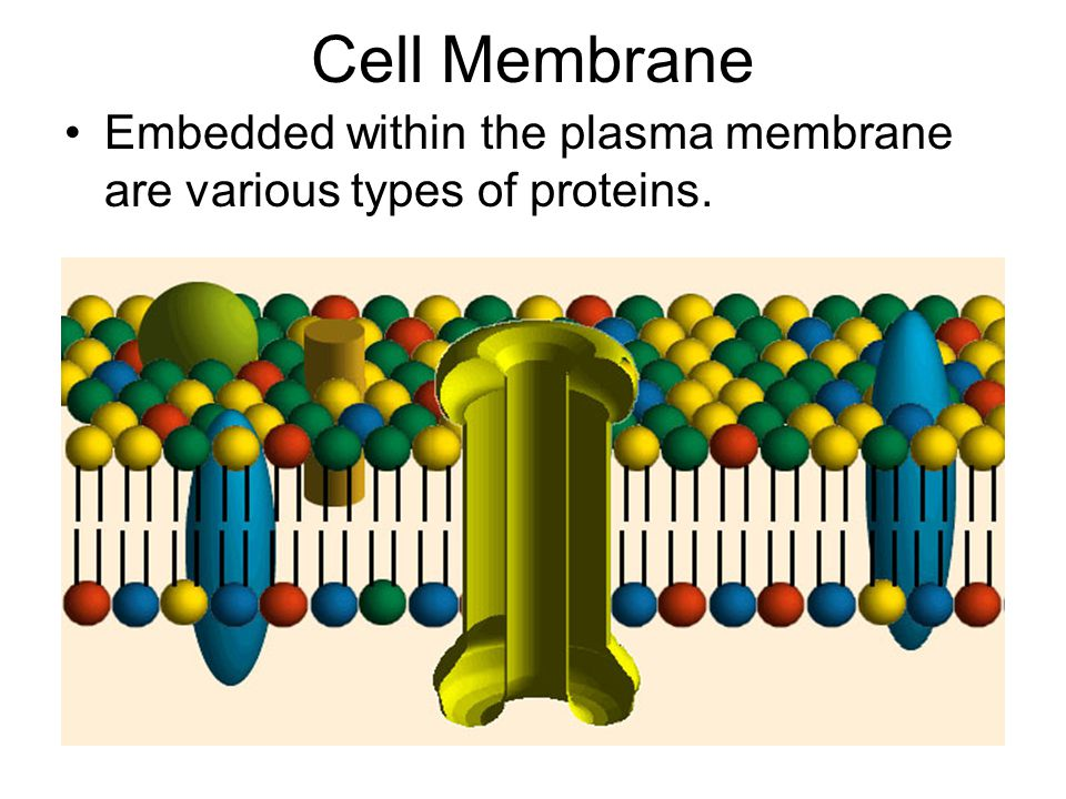 Cell Membrane Embedded within the plasma membrane are various types of proteins.
