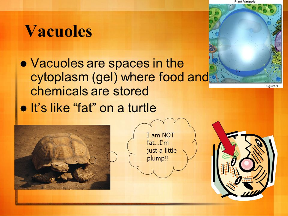 Vacuoles Vacuoles are spaces in the cytoplasm (gel) where food and chemicals are stored. It's like fat on a turtle.