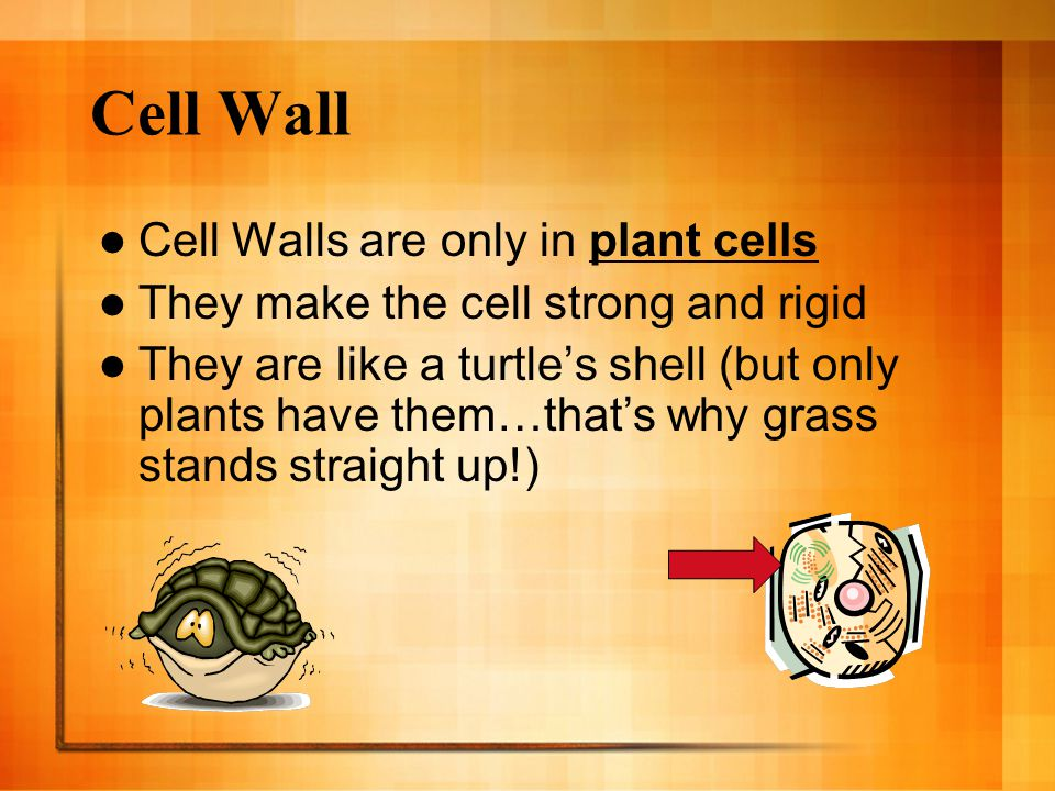 Cell Wall Cell Walls are only in plant cells
