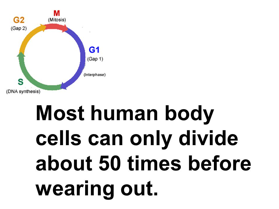 Most human body cells can only divide about 50 times before wearing out.