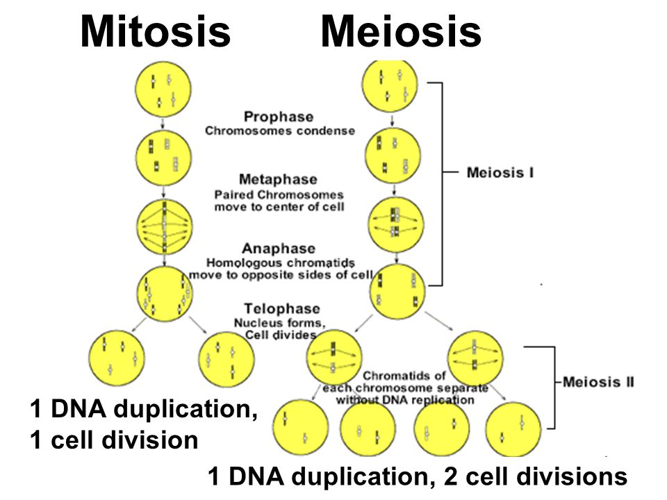 Mitosis Meiosis 1 DNA duplication, 1 cell division