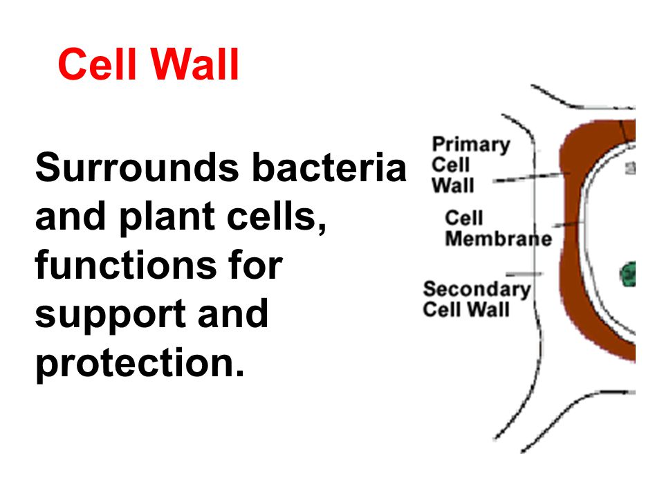 Cell Wall Surrounds bacteria and plant cells, functions for