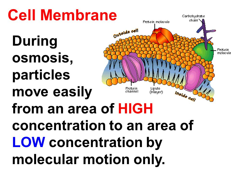 Cell Membrane During osmosis, particles move easily