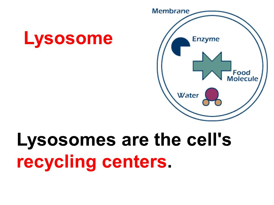 Lysosome Lysosomes are the cell s recycling centers.