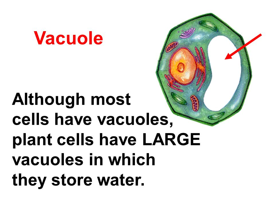 Vacuole Although most cells have vacuoles, plant cells have LARGE