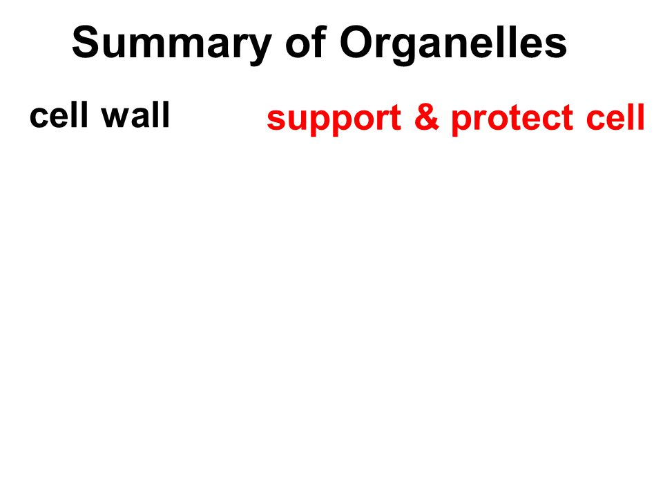 Summary of Organelles cell wall support & protect cell