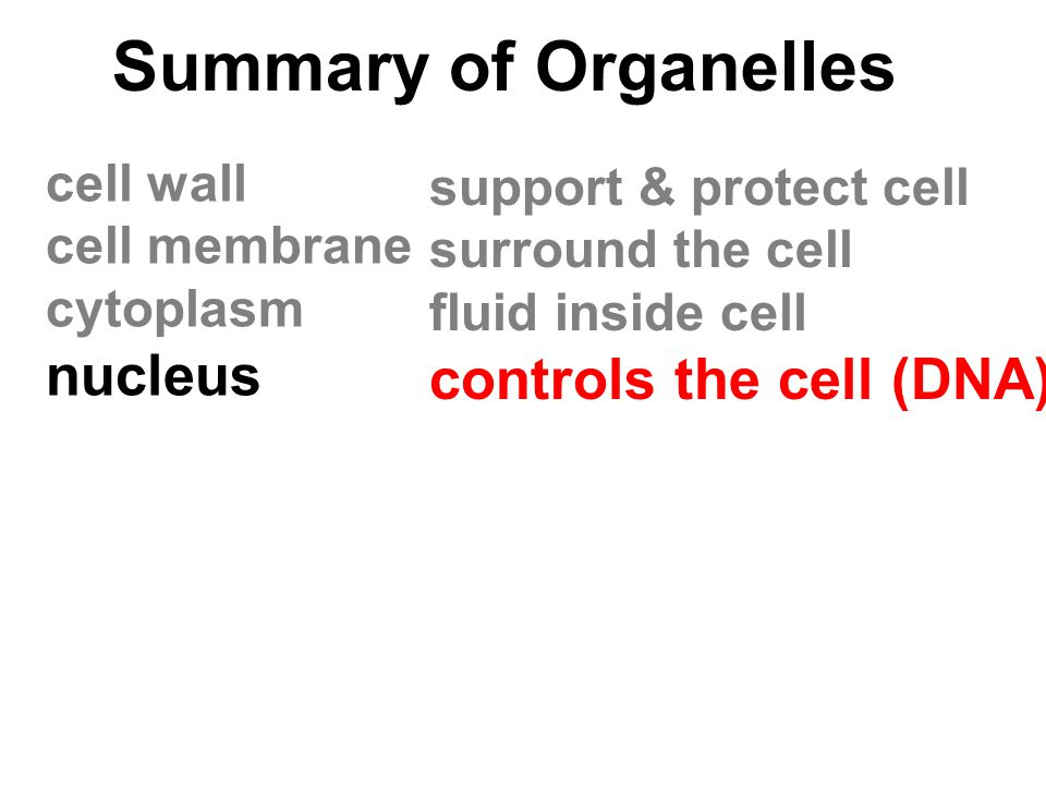 Summary of Organelles nucleus controls the cell (DNA) cell wall