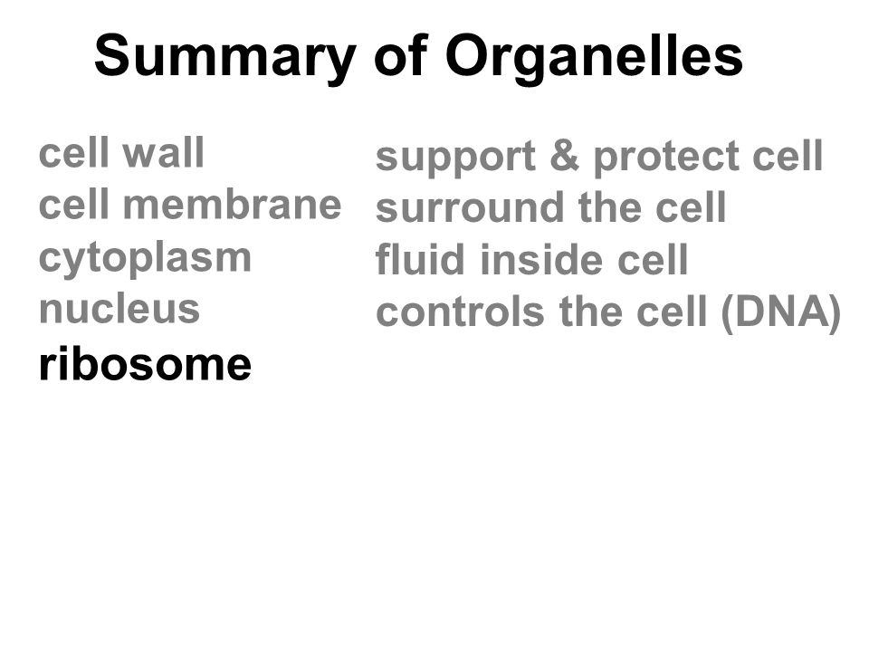Summary of Organelles ribosome cell wall support & protect cell