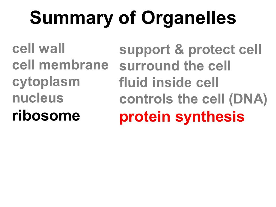 Summary of Organelles ribosome protein synthesis cell wall