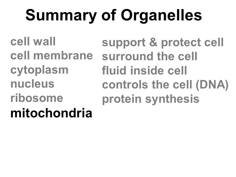 Summary of Organelles mitochondria cell wall support & protect cell