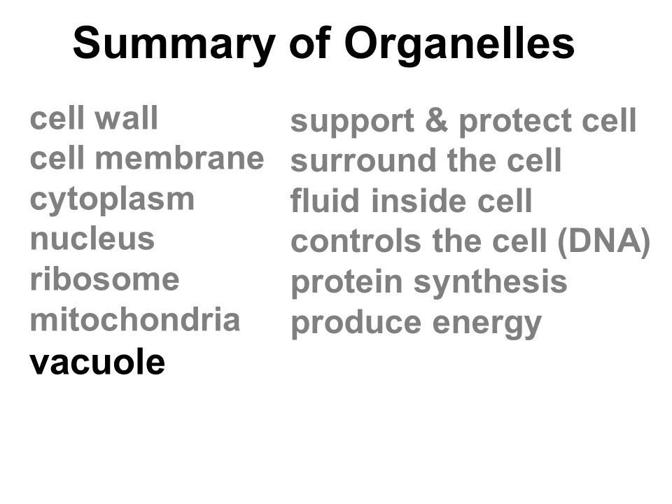 Summary of Organelles vacuole cell wall support & protect cell